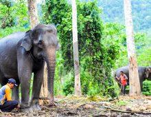 Wisata Gajah Di Aceh Jaya
