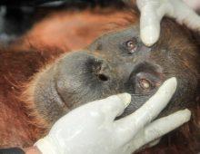 Senjakala Orangutan