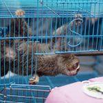 ISCP Sita Kukang Sumatera Peliharaan Warga