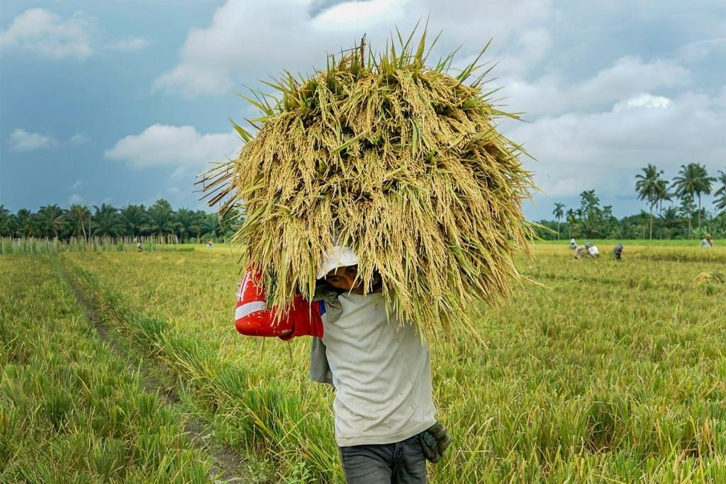 Seorang petani mengangkat hasil panen di perladangan yang berada di Desa Porwobinangun, Kecamatan Sei Bingai, Kabupaten Langkat,Sumatera Utara (8/4/19) ImajiPertiwi/Hendra Syamhari