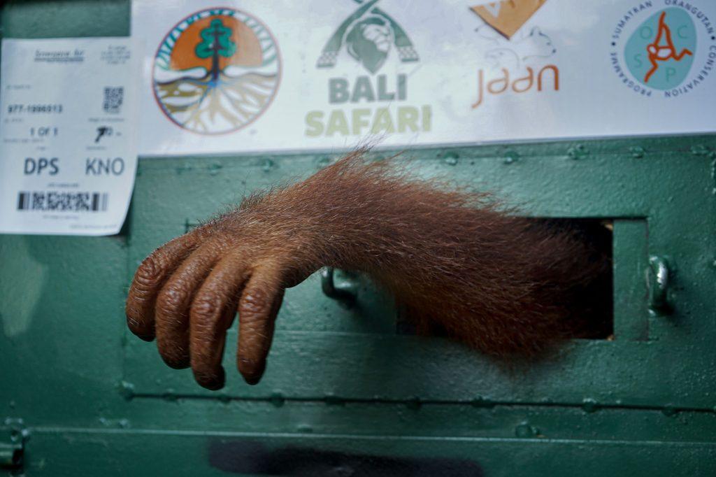 ORANGUTAN SITAAN : Seekor bayi Orangutan (Pongo abelii) Sumatera berusia 2,5 tahun berada dalam kandang ketika tiba di Kargo Bandara Internasional Kualanamu, Deliserdang, Sumut, Selasa (17/12). Bayi orangutan bernama 'Bon-Bon' ini tiba dari Bali dan merupakan satwa sitaan upaya penyelundupan oleh seorang warga Rusia yang berhasil digagalkan dan ditranslokasi oleh BKSDA Bali untuk menjalani proses rehabilitasi di karantina Sumatran Orangutan Conversation Program (SOCP) Batumbelin, Sibolangit, Deliserdang. IP/Hendra Syamhari