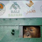 Orangutan Sumatera Sitaan dari Bali Dikembalikan ke Habitatnya